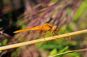 Female yellow-winged darter dragonfly (Sympetrum flaveolum) resting with wings held forwards on a grass stem, Port Cros Island National Park, Hyeres archipelago, France, May.  -  Nick Upton