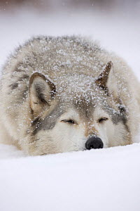 Grey Wolf (Canis lupus) head portrait of male, sleeping in snow, Captive  -  John Cancalosi