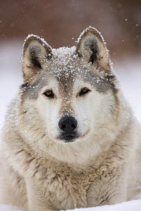 Grey Wolf (Canis lupus) head portrait of male, in snow, Captive  -  John Cancalosi