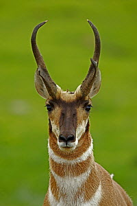 Pronghorn Antelope (Antilocapra americana) head portrait, South Dakota, USA  -  John Cancalosi