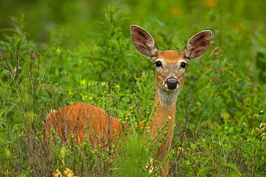 Mule deer (Odocoileus hemionus)  portrait of doe standing in long grass, South Dakota, USA - John Cancalosi
