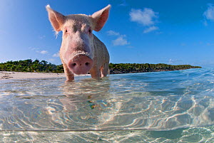 split level view of a domestic pig (Sus domestica) bathing in the sea. Exuma Cays, Bahamas. Tropical West Atlantic Ocean. This family of pigs live on this beach in the Bahamas and enjoy swimming in t...  -  Alex Mustard