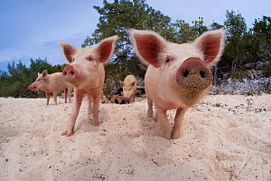 A group of young domestic pigs (Sus domestica) on the beach in the Bahamas. Exuma Cays, Bahamas. Tropical West Atlantic Ocean.~This family of pigs live on this beach in the Bahamas and enjoy swimming... - Alex Mustard