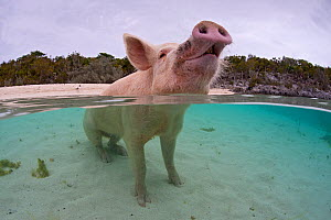 Portrait of a domestic pig (Sus domestica) sitting in the sea. Exuma Cays, Bahamas. Tropical West Atlantic Ocean. This family of pigs live on this beach in the Bahamas and enjoy swimming in the sea.  -  Alex Mustard