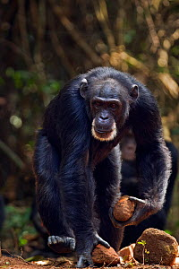 Western chimpanzee (Pan troglodytes verus)   female 'Jire' aged 52 years carrying two rocks in her hands that she will then use as tools for cracking palm oil nuts, Bossou Forest, Mont Nimba, Guinea.... - Anup Shah