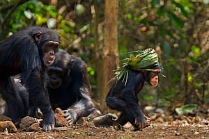 Western chimpanzee (Pan troglodytes verus)   infant male 'Flanle' aged 3 years wearing on his head a 'head support' used by villagers to carry heavy items made from palm leaves being chased by his mot...  -  Anup Shah