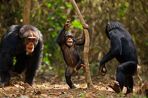 Western chimpanzee (Pan troglodytes verus)   young male 'Jeje' aged 13 years disciplining juvenile female 'Joya' aged 6 years and infant male 'Flanle' aged 3 years who are playing together, Bossou For...  -  Anup Shah