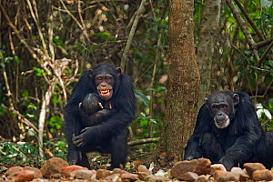 Western chimpanzee (Pan troglodytes verus)   female 'Fanle' aged 13 years grinning due to stress as her infant son 'Flanle' aged 3 years struggles to suckle, Bossou Forest, Mont Nimba, Guinea. January...  -  Anup Shah