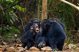 Western chimpanzee (Pan troglodytes verus)   infant male 'Flanle' aged 3 years acting aggressively towards alpha male 'Foaf' aged 30 years, Bossou Forest, Mont Nimba, Guinea. January 2011. Sequence 4... - Anup Shah