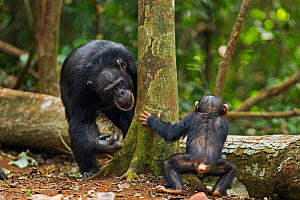 Western chimpanzee (Pan troglodytes verus)   female 'Fana' aged 54 years playing with her infant grandson 'Flanle' aged 3 years, Bossou Forest, Mont Nimba, Guinea. January 2011. - Anup Shah