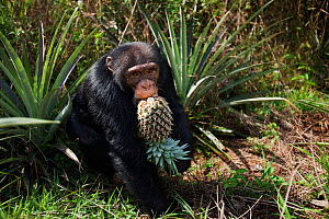 Western chimpanzee (Pan troglodytes verus)   young male 'Jeje' aged 13 years stealing pineapple from villagers fields, Bossou Forest, Mont Nimba, Guinea. December 2010.  -  Anup Shah
