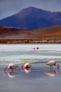 James' flamingos (Phoenicoparrus jamesi) on a laguna in the remote region of high desert, altiplano and volcanoes near Tapaquilcha, Bolivia, December 2009 - David Noton