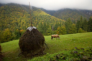 Traditional Alpine agriculture with hayrick and grazing cow (Bos taurus) amidst woodland. Romania, October 2010 - David Woodfall