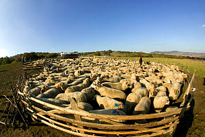 Flock of sheep (Ovis aries) in fold, gathered for marking by community shepherds on steppe as part of a peasant economy. Romania, October 2010 - David Woodfall