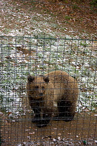 Brown bear (Ursus arctos) in captivity in snow after abuse / trauma following spell as a circus or dancing bear. Rehablitation centre established in 2006 for distressed bears. Romania, October 2010  -  David Woodfall