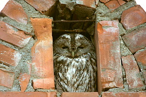 Tawny owl (Strix aluco) roosting in hotel chimney. Romania, October 2010 - David Woodfall