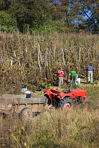 Peasants picking grapes (Vitus sp) in community orchards in traditional landscape rich in wildlife. Romania, October 2010  -  David Woodfall