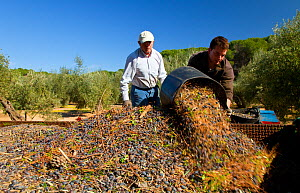Men tipping out baskets of harvested olives (Olea europaea) in Sierra de Andujar Natural Park. Andalusia, Spain, Feb 2010  -  Juan Carlos Munoz