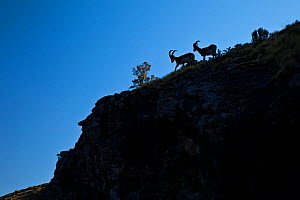 Walia ibex (Capra walie) silhoutted on a rocky slope. Simien mountains, Ethiopia, Feb 2010 - Juan Carlos Munoz