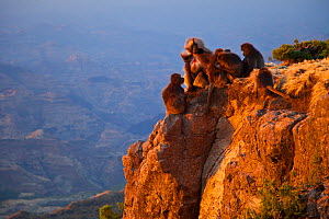 Group of Gelada baboons (Theropithecus gelada) on a rocky outcrop. Simien Mountains, Ethiopia, Feb 2010  -  Juan Carlos Munoz