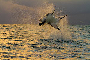 Great white shark (Carcharodon carcharias) leaping out of the for cloth bait. False Bay, South Africa, July 2010 - Juan Carlos Munoz