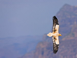 Egyptian vulture (Neophron percnopterus) in flight. Simien Mountains, Ethiopia, Feb 2010  -  Juan Carlos Munoz