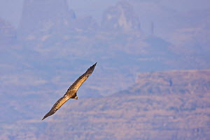 Indian white backed vulture (Gyps bengalensis) in flight. Simien Mountains, Ethiopia, Feb 2010 - Juan Carlos Munoz