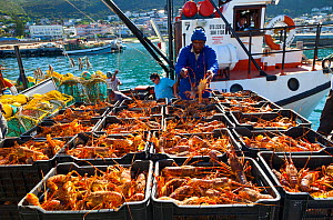 Catch of lobsters being unloaded in the fishing village of Kalk Bay, False Bay, South Africa  -  Juan Carlos Munoz