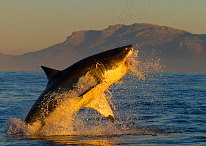 Great white shark (Carcharodon carcharias) leaping out of the water. False Bay, South Africa, July 2010 - Juan Carlos Munoz