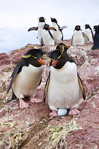 Pair of Rockhopper penguins (Eudyptes chrysocome) with egg, with a group of penguins in the background. Penguin Island, Puerto Deseado, Patagonia, Argentina, Nov 2008  -  Juan Carlos Munoz