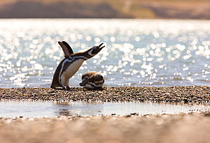 Magellanic penguin (Spheniscus magellanicus) flapping its wings, with another lying down. Puerto Deseado, Patagonia, Argentina, Nov 2008  -  Juan Carlos Munoz