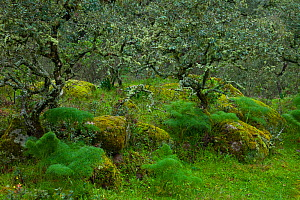 Lichen-covered trees and mossy rocks in Sierra de Andujar Natural Park, Jaen, Andalusia, Spain, March 2010  -  Juan Carlos Munoz