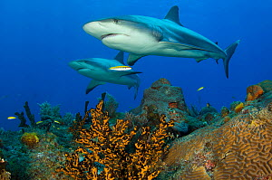 A pair of Caribbean reef sharks (Carcharhinus perezi) cruise over a coral reef in the Bahamas. Little Bahama Bank, The Bahamas. Tropical West Atlantic Ocean. - Alex Mustard