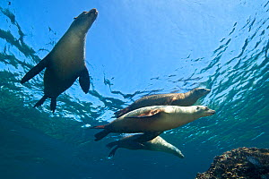 A group of adult female California sealions (Zalophus californianus) bask in the sun at the surface. Los Isotes, La Paz, Mexico. Sea of Cortez, East Pacific Ocean. - Alex Mustard