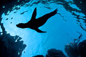 A silhouette of a young California sealion (Zalophus californianus) swimming just below the surface, close to shore. Los Isotes, La Paz, Mexico. Sea of Cortez, East Pacific Ocean. - Alex Mustard
