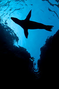 A silhouette of a California sealion pup (Zalophus californianus) next to cliffs. Los Isotes, La Paz, Mexico. Sea of Cortez, East Pacific Ocean. - Alex Mustard