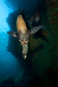 A young California sealion (Zalophus californianus) playing with a starfish, inside an underwater cave. The pups will pick up a variety of objects (such as starfish, lumps of coral, shells and feather... - Alex Mustard