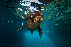 A young California sealion (Zalophus californianus) portrait, inside an underwater cave. Los Isotes, La Paz, Mexico. Sea of Cortez, East Pacific Ocean. - Alex Mustard