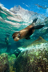 A young California sealion (Zalophus californianus) swims in a shallow pool. Los Isotes, La Paz, Mexico. Sea of Cortez, East Pacific Ocean. - Alex Mustard