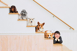 Group portrait of a variety of dog breeds, including Welsh Corgi, Toy Poodle, and Dachshund sitting on staircase, with young boy - Aflo