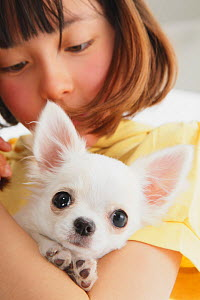 Portrait of young girl holding white Chihuahua puppy  -  Aflo
