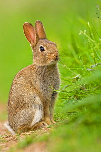 RF- European Rabbit (Oryctolagus cuniculus) juvenile. UK, August. (This image may be licensed either as rights managed or royalty free.) - Andy  Rouse