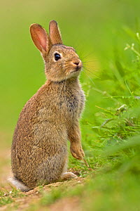European Rabbit (Oryctolagus cuniculus) juvenile. UK, August. - Andy Rouse