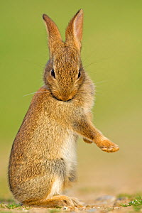 European Rabbit (Oryctolagus cuniculus) juvenile grooming itself. UK, August. - Andy Rouse