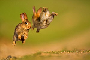 Two European Rabbit (Oryctolagus cuniculus) young playing, leaping in air. UK, August.  -  Andy Rouse