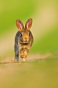 European Rabbit (Oryctolagus cuniculus) juvenile walking towards camera. UK, August.  -  Andy Rouse