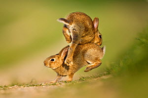 Two European Rabbit (Oryctolagus cuniculus) young playing and jumping. UK, August.  -  Andy Rouse