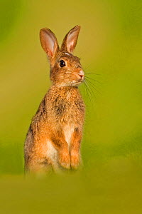European Rabbit (Oryctolagus cuniculus) juvenile standing on hind legs. UK, August. - Andy Rouse