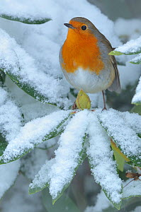 European Robin (Erithacus rubecula) perched on snowy leaf. Wales, UK, December. - Andy Rouse