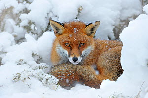 European Red Fox (Vulpes vulpes) resting in snow. Taken in controlled conditions. UK, January. - Andy Rouse